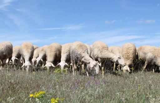 ovejas de La Mancha pastando