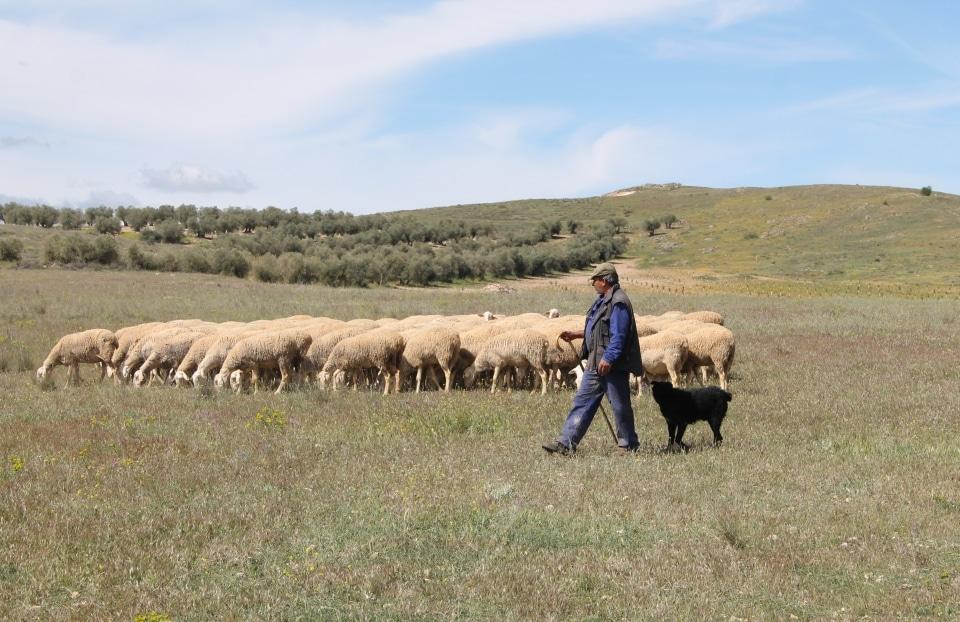 Pastoreo en La Mancha.